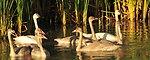 Trumpeter Swan pair and Cygnets on Seedskadee NWR