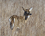 Photo of the Week - White-tailed Deer (RI)