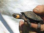 Year-old bog turtle