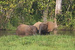 Elephant mother and calves