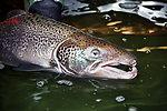 Atlantic Salmon Male