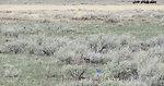 Mountain Bluebirds in Spring