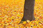 Trunk and fallen leaves