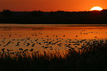 ducks at sunrise, Agassiz National Wildlife, MN