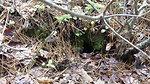 New England cottontail burrow