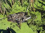 Avian Botulism Carcass