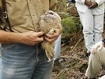 Spotted Owl Banding