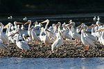 Pelicans on Gravel Bar