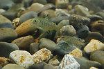 Atlantic Salmon Parr in Cobble Habitat