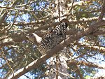 Female spruce grouse at Conte National Fish and Wildlife Refuge