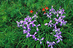 dwarf crested iris and crimson columbine