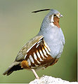 Mountain Quail - Oregon Fish and Wildlife Office