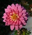 Photo of the Week - Dahlia at Sunrise