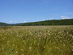 Umbagog National Wildlife Refuge - Cottongrass in Harper's Meadow