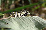 Photo of the Week - Monarch caterpillar at the Northeast Regional Office, MA