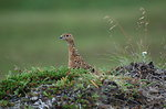 Willow Ptarmigan female