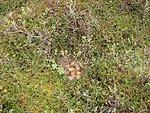 Willow Ptarmigan nest