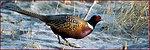 Pheasant - McKay Creek NWR
