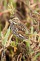 Belding's Savannah sparrow (adult)