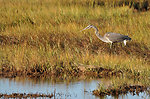 Great blue heron at Parker River National Wildlife Refuge