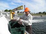 Service Employee Sexing a Sea Lamprey at the Cheboygan River in Michigan.