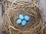 Blue Eggs in Nest Box