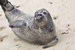 Seal at Nantucket National Wildlife Refuge