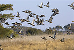Waterfowl flying over wetland at Chincoteague National Wildlife Refuge (VA)