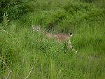 Elusive Lynx