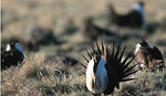 Sagegrouse - Sheldon NWR