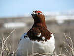 Close up of male willow ptarmigan