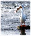White Pelican - McNary NWR
