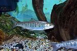 Atlantic Salmon Pre-Smolt