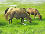 Chincoteague ponies and cattle egrets