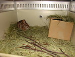 New England cottontail at Roger Williams Zoo, R.I.