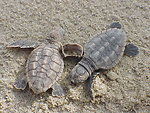 Photo of the Week - Loggerhead sea turtle hatchlings at Back Bay National Wildlife Refuge, VA