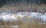 trumpeter swans in the snow ....