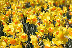 Daffodils in bloom at Bartholdi Park