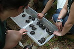 Turtles Getting Ready to be Released