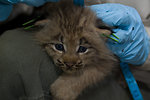Canada Lynx kitten being measured
