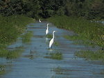 Egrets at Wallkill River Refuge