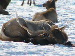 Bull Elk Scratches its Remaining Antler