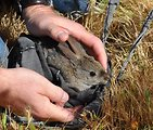 Riparian brush rabbit