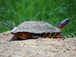 Female Wood Turtle