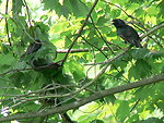 Starling scares ratsnake from nest
