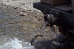 Creston National Fish Hatchery Fish Distribution