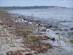Shorebirds and Horseshoe Crabs