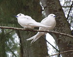 white tern pair in ironwood
