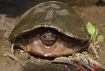 Common Musk Turtle in Shell