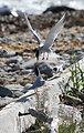Roseate Terns Being Harrassed By Common Tern Neighbors